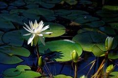 Lilila auf dem Teich Lizenzfreies Stockbild