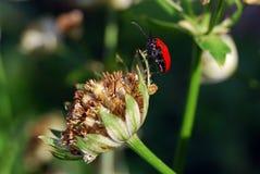 Lilioceris lilii Stock Images