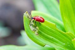 Lilioceris merdigera on lily leaves. Scarlet lily beetle, red lily beetle, or lily leaf beetle Lilioceris lilii, Lilioceris merdigera, is insect eats the leaves stock images