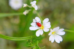 Lilioceris. Red beetle sits on a white flower Royalty Free Stock Photos