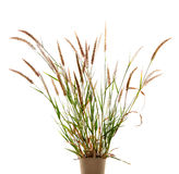 The Liliopsida, Poaceae, Weed Flowers on white ,clipping path Royalty Free Stock Images
