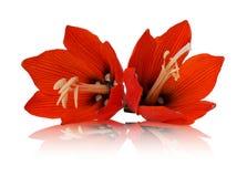 Lilis flower on white background Royalty Free Stock Photo
