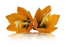 Lilis flower on white background Stock Image
