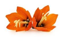 Lilis flower on white background Royalty Free Stock Photos