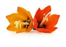 Lilis flower on white background Stock Photography