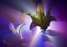 Lilium Stock Afbeelding