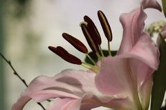 Lilium Royaltyfria Foton