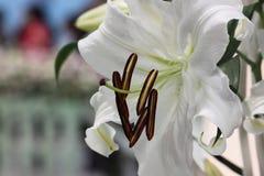 Lilium Arkivbilder
