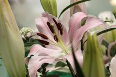 Lilium Royalty-vrije Stock Foto's