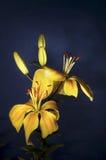 Lilium Royalty-vrije Stock Foto