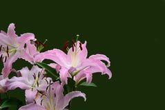 Lilium Zdjęcie Royalty Free