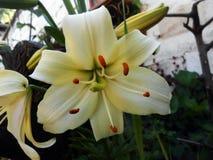 Lilium Immagini Stock