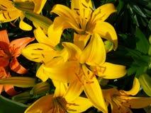 Lilium amarelo Fotografia de Stock