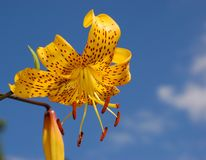 Lilium amarelo bonito fotografia de stock