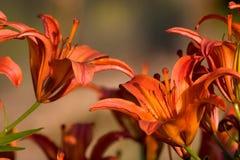 Lilium anaranjado Fotos de archivo