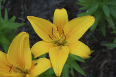 Lilium Asiatic Yellow flower. Royalty Free Stock Photo
