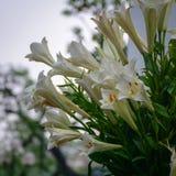 Lilium auratum flowers. Close-up of Lilium auratum flowers at the garden in Hanoi, Vietnam Royalty Free Stock Image
