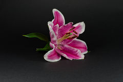 Lilium Stock Photo