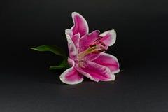 Lilium stock photo