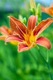 Lilium bulbiferum Stock Photo