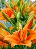 Lilium bulbiferum Stock Photo