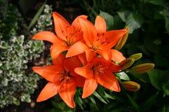 Lilium bulbiferum Stockbilder