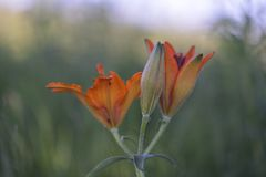 Lilium bulbiferum. Fire lily and tiger lily Stock Image