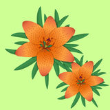 Lilium bulbiferum,lily orange flower. Stock Photos