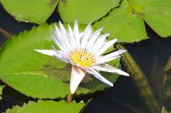Lilium candidum Immagini Stock Libere da Diritti