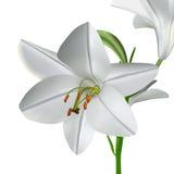 Lilium candidum Fotografia Stock Libera da Diritti