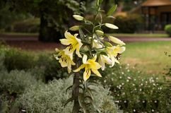 Lilium candidum, madonna lily stock images