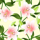 Lilium candidum, the Madonna lily or Pink Lily on Beige Ivory Background. Royalty Free Stock Image