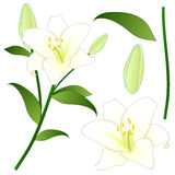 Lilium candidum, the Madonna lily or White Lily. National Flower of Italy. Vector Illustration. Royalty Free Stock Images