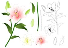 Lilium candidum, the Madonna lily or White Lily. National Flower of Italy. Vector Illustration. Isolated on White Background. Royalty Free Stock Photography