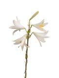 Lilium candidum op een witte achtergrond Stock Afbeeldingen