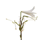 Lilium candidum  on a white background Stock Photo
