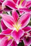 Lilium casa blanca Stock Images