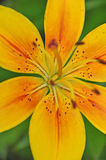 Lilium Center Royalty Free Stock Image