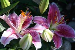 Lilium - curieux d'étoile - dans la fleur et avec des bourgeons Photographie stock