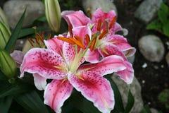 Lilium - curieux d'étoile - dans la fleur et avec des bourgeons Photos stock