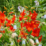 Lilium davidii Elwes Stock Image