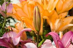 Lilium flower. Stock Image