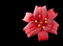 Lilium flower detail. Lilium flower on black background Stock Photography