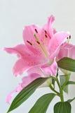Lilium flower oriental lily. Lilium flower close up oriental lily Royalty Free Stock Photo
