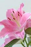 Lilium flower oriental lily. Lilium flower close up oriental lily Stock Photos