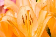 Lilium flower. Royalty Free Stock Photography