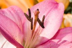 Lilium flower. Royalty Free Stock Images