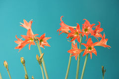 Lilium Flowers Stock Photography