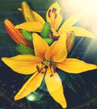 Lilium. Flowers  nature  sun  moments Royalty Free Stock Photo