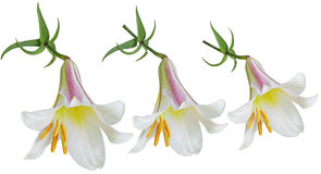 Lilium Flowers Royalty Free Stock Image